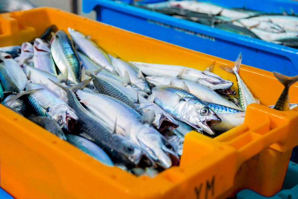 La costera de la xarda arrancará con el 72 % la cantidad autorizada a pescar hasta marzo