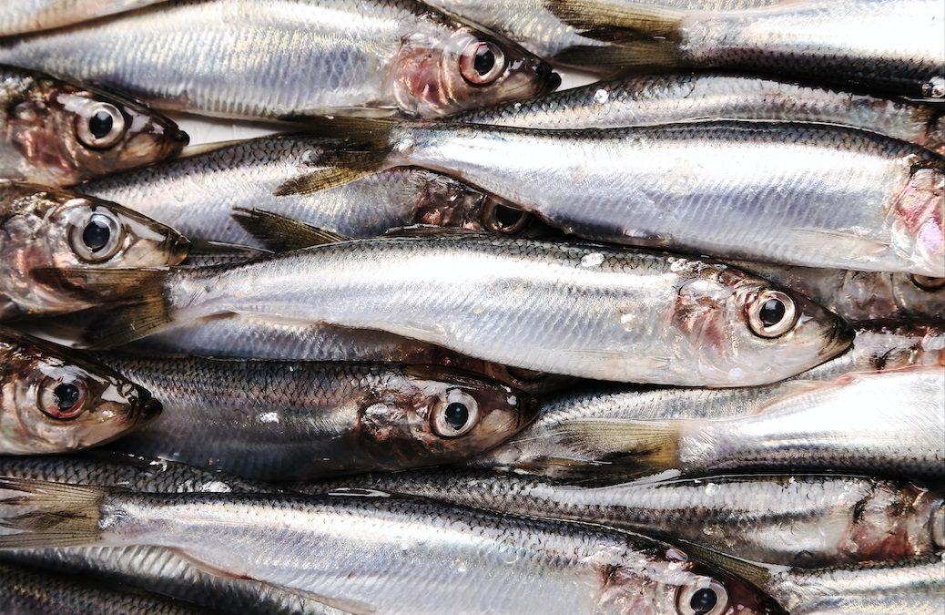 Ministerio de Agricultura, Pesca y Alimentación (MAPA) anuncia el cierre de la pesquería de anchoa del Cantábrico Noroeste